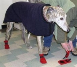 Greyhound  wears his winter boots for the first time