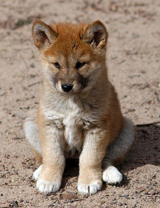 Dingo puppy (careful, momma is somewhere prowling around) -Australia