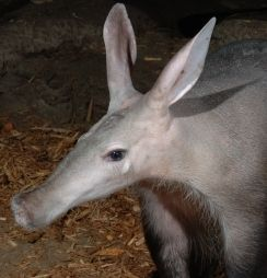 Adopt an Aardvark