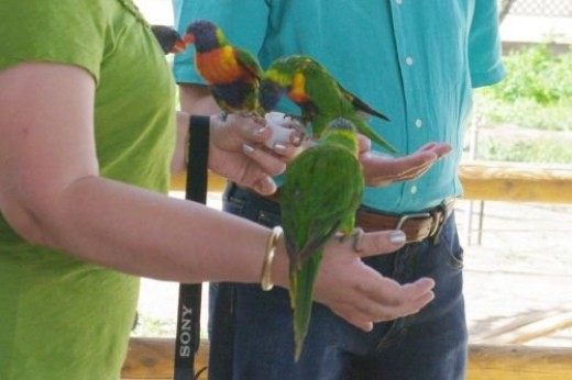 Lorikeets are friendly to humans who feed them.