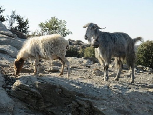 Two mountain goats with bells.