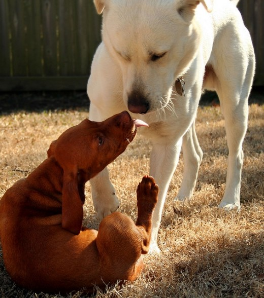 A Vizla puppy and a white lab getting to know each other.