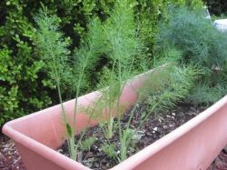 Fennel and Dill in an EarthBox
