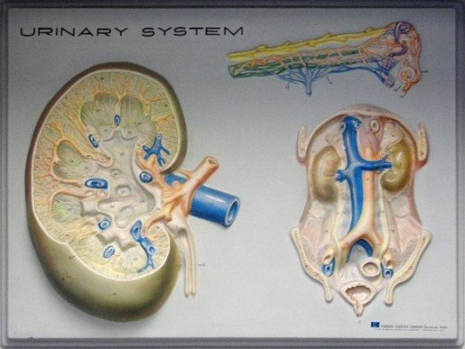 Photo credit: urinary system by striatic, on Flickr