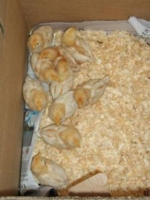 10 new baby chicks