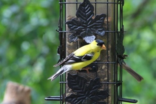 American Goldfinch - Canon SL1 with 70-200 f/4.0 lens