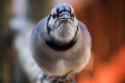 bluejay bird photography