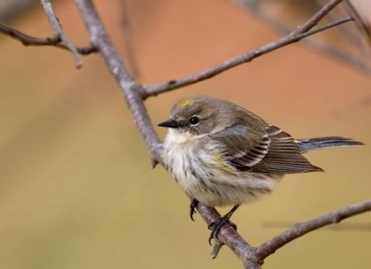 bird photos of Yellow-rumped Warbler