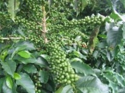 Fruiting coffee tree lots of coffee for Brisbane Locksmith in Morningside