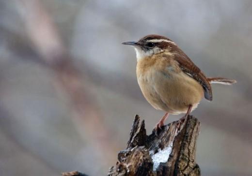 Carolina Wren - Backyard Bird Photos