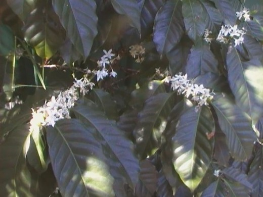 24 hour locksmith coffee tree flowering