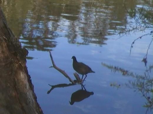 Moor Hen at Rochedale