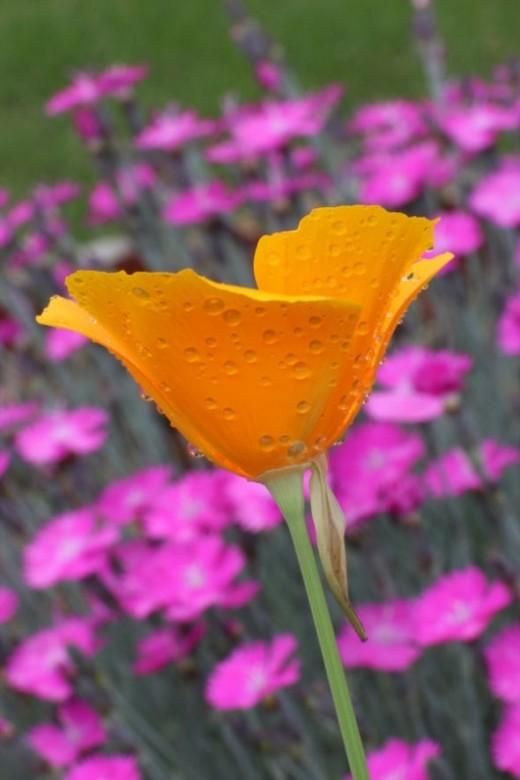 Poppy with dew drops