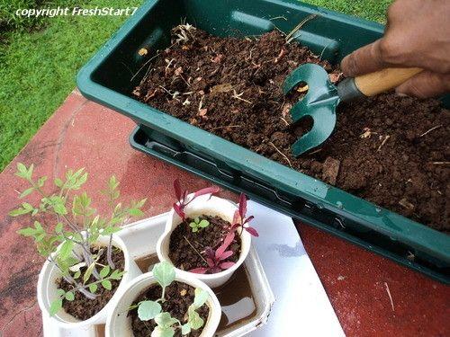 Transplanting Seedlings - Heidi Vincent (FreshStart7)