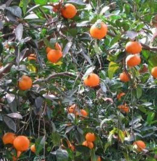 In the southern part of the Gulf Coast states citrus such as Satsumas, Kumquats and Meyer lemons can be grown.