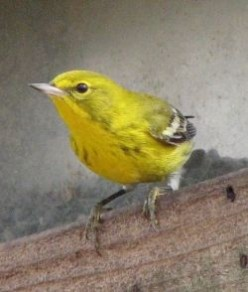Pine Warblers of the Forests