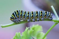 Black Swallowtail Caterpillar taken with Sigma macro lens for Canon