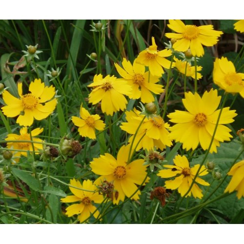 This native perennial will multiply and you will be rewarded with hundreds of sweet scented golden flowers each year.