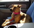 Sweet Sadie the Mountain Cur Dog Needs a Home