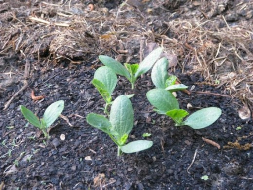 Plant the pumpkin seeds in good soil containing lots of compost and/or aged manure.