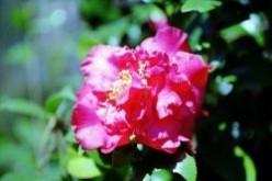 Planting Camellia Gardens