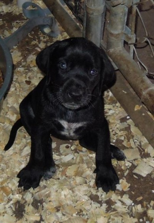 One of Elsie's Puppies, Such a Sweet Face