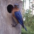 Nest Box Trails for Bluebirds and Others