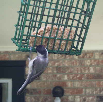 Carolina chickadees are the first to use the birdhouse in early spring. By the time their chicks leave the nest, it is time for the other birds to begin nesting.