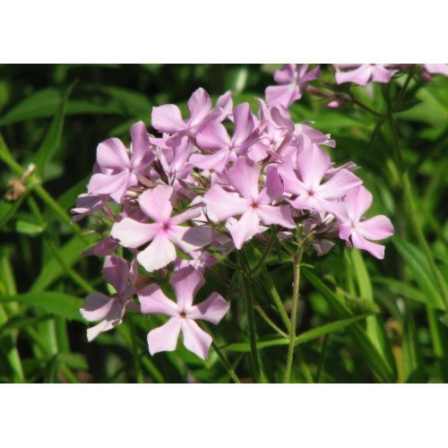 This pink phlox multiplies to form a carpet of fragrant blossom in my flower garden.