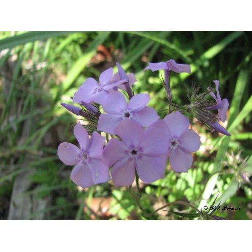 Downy Phlox grows will in the hills of Northern St. Tammany Parish.