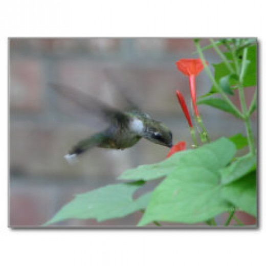 Hummingbirds drink nectar from flowers, but they also eat tiny insects.