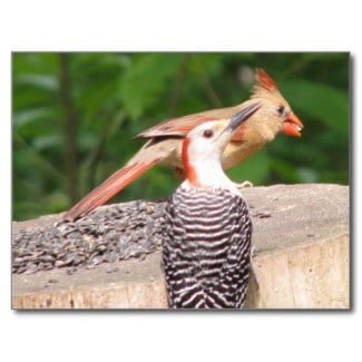 Birds such as this red-bellied woodpeckr and female cardinal eat many insects as well as seed.