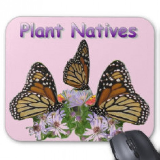 Monarch butterfly populations are on the decline. Planting their larval plant, milkweed, in your yard will help bring them back.