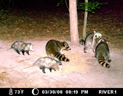 Spring Time in the Forest - Raccoons and Opossums