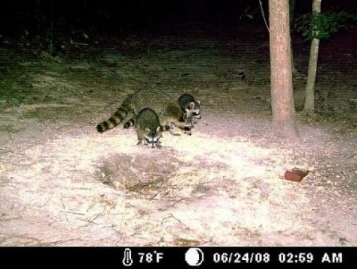 Mama Racoon & 3 Babies (One is Hiding)