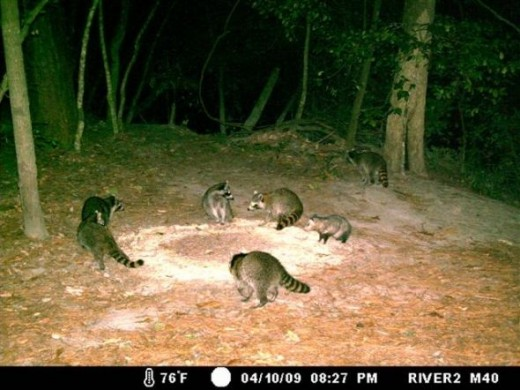 A typical spring night by the Tchefuncte River - too many Raccoons and a pregnant Opossum.
