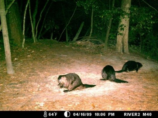 The Beaver family that lives on this section of the Little Tchefuncte River, plotting the project.