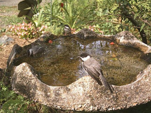 Chickadees love to bathe in shallow water.