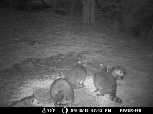 Opossum with Young in Pouch (right) & raccoons