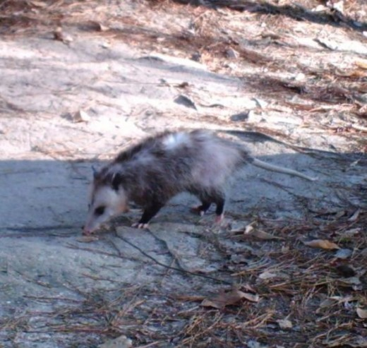Opossum Looking for Food