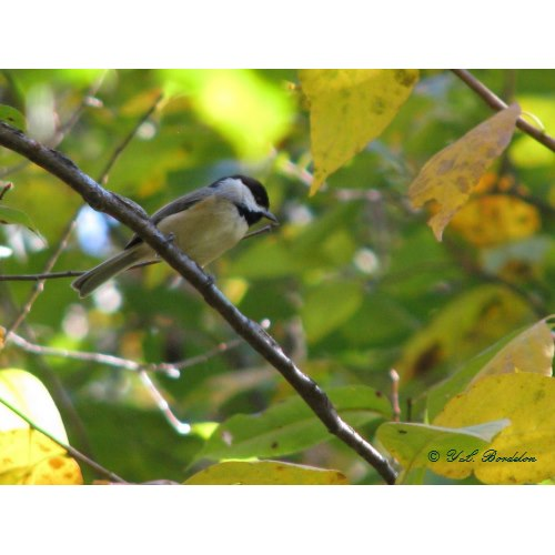 Silver bell trees have lovely fall leaves. The seeds of the tree are eaten by songbirds and game birds.