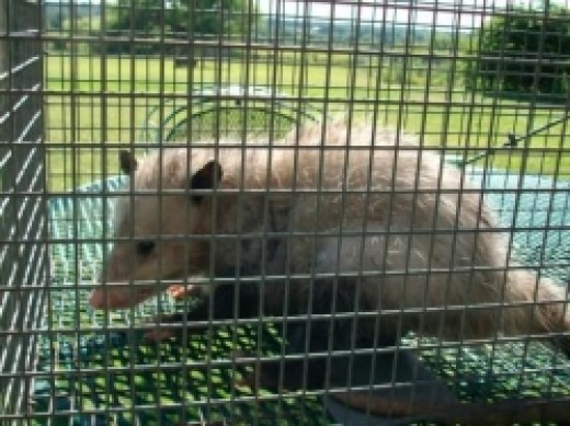 Opossum in a live trap