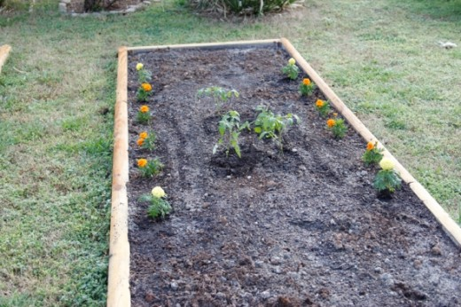 After waiting a couple of weeks for the cool weather to get warmer, I put in a few tomato plants and some marigolds (the marigolds discourage destructive bugs from attacking).