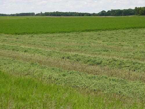 alfalfa hayfield