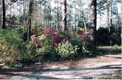 Azaleas Along the Drive