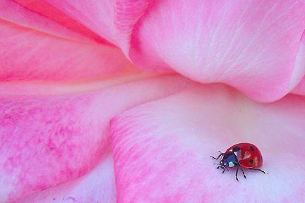 Ladybug & a Rose