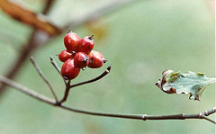 Many birds eat the red drupes.
