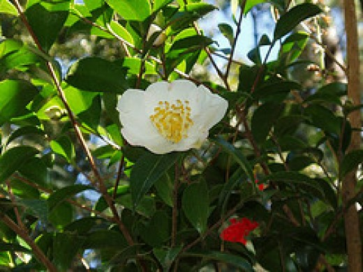 Camellia sasanquas bloom in the fall of the year.