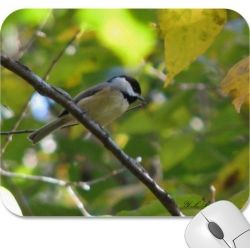 Carolina chickadees flock to the sunflower feeders when the weather cools off.