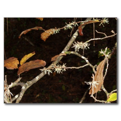Witch Hazel begins to bloom in late fall. Its stems and bark are used in Dr. Tichenor's antiseptic.